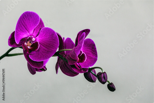 My Orchid Wallpaper Mural