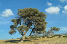 A Beautiful Old Olive Tree In ...