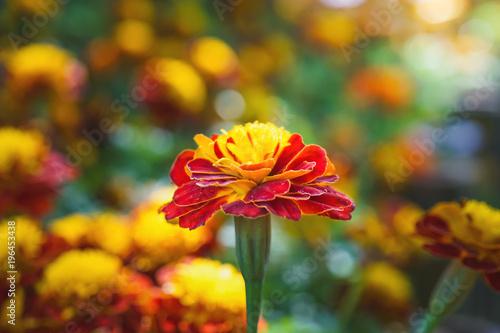 Fotobehang Vlinder blooming marigold flower in garden, shallow dept of field