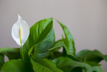 Close Up Photo With Selectiive Focus Of White Spathiphyllum Flower With Green Leaves