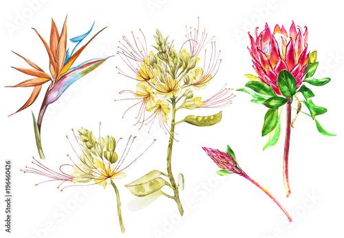 Foto  Watercolor Protea, Caesalpinia and Strelitzia flowers set