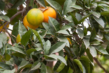 Ripening Oranges On A Branch