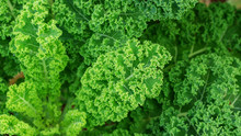 Close Up Of Green Curly Kale P...