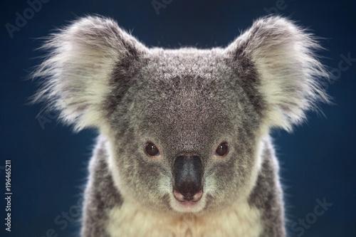 Garden Poster Koala Face of koalas on a dark background.