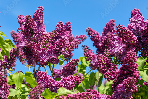 Fotobehang Lilac A branch of blossoming lilac in a spring garden