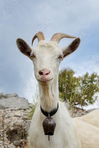 Goat with horns wearing a metal bell on a collar, Montenegro, Europe