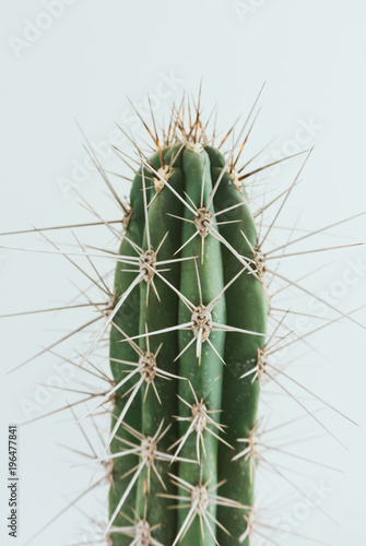 Poster Cactus cactus with white background