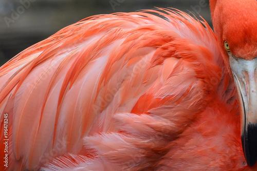 Close up of orange flamingo