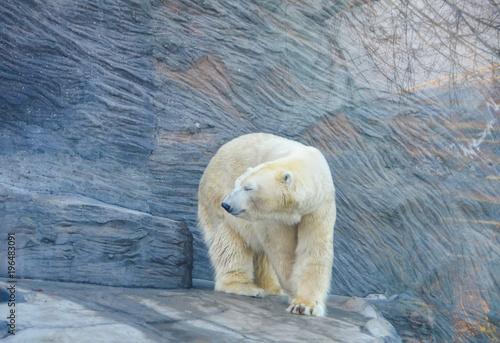Acrylic Prints Polar bear Oso polar adulto