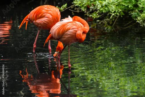 Foto op Aluminium Flamingo Red flamingo from south America