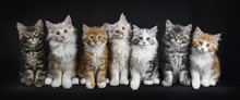 Row Of Seven Maine Coon Cats /...