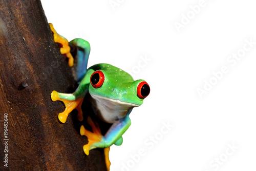 red-eye tree frog  Agalychnis callidryas Poster Mural XXL