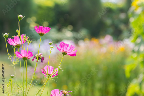 Pink cosmo flowers morning sun buy this stock photo and explore pink cosmo flowers morning sun mightylinksfo
