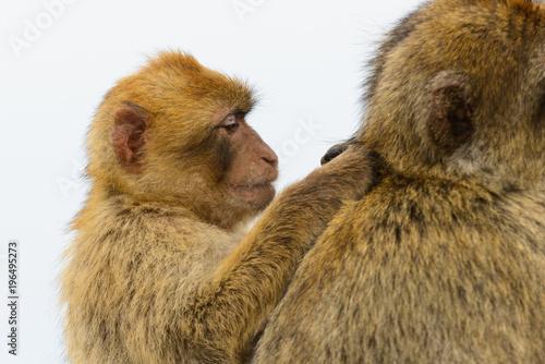 Poster  Monkey mum and Baby