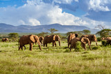 Fototapeta Sawanna - Herd of elephants in the african savannah