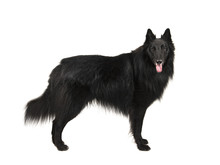 Pretty Long Haired Black Belgi...