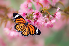 Butterfly On Pink Cherry Bloss...