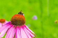 Bumblebee On Beautiful Floweri...