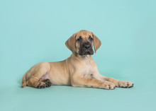 Cute Yellow Great Dane Puppy Lying Down Seen From The Side On A Turquoise Blue Background