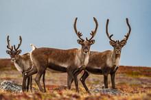 Caribou - Nunavut Territory