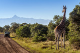 Fototapeta Sawanna - Giraffe looking at tourists in the African Savannah, Kenya