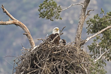 Eagle And Chick In Los Angeles Foothills Nest