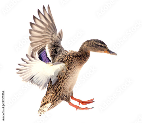 Duck in flight on a white background Wall mural