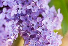 Lilac Flowers On A Tree In Spr...