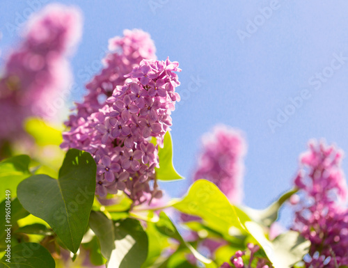 Keuken foto achterwand Lilac Lilac flowers on a tree in spring