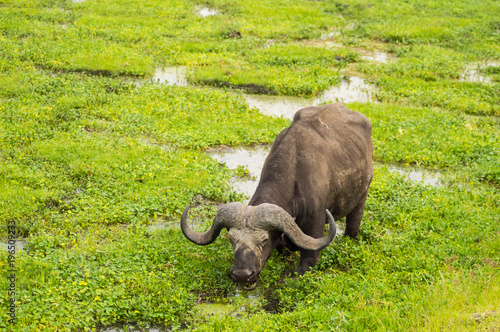Tuinposter Buffel Buffalo grazing in the savannah swamps of Amboseli Park in Kenya