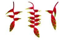 Red Heliconia Rostrata (hangin...