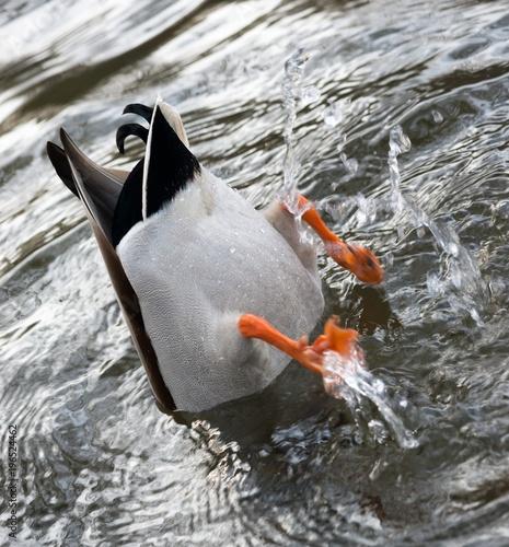 Erpel der Stockente (Anas platyrhynchos) gründelt und tritt Wasser, Hessen, Deutschland, Europa
