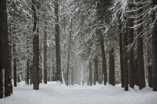 Tuinposter Berkbosje Snowfall in the taiga forest