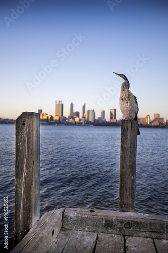 Fotografie, Obraz  An Australian Darter sea bird sits perched atop a dock with Downtown Perth, Australia in the background