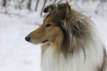 Rough Collie Dog Winter