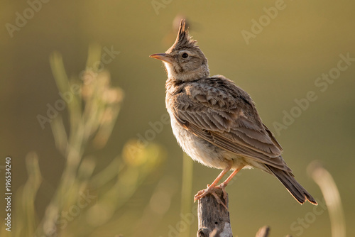Crested lark (Galerida cristata) sitting on a wooden stick. Slika na platnu