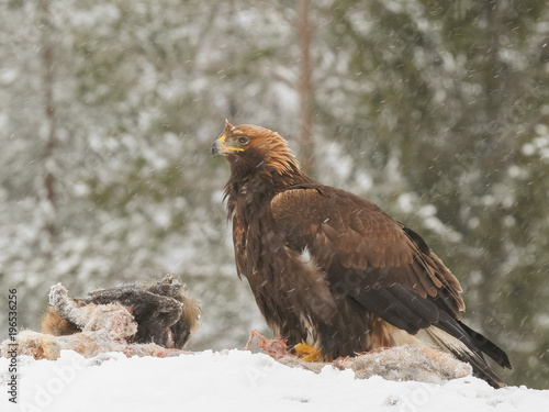 Photo  Golden eagle rips pieces of meat from icy carcass of a deer in snowfall