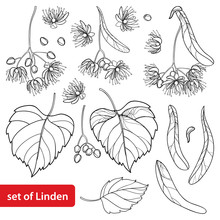 Vector Set With Outline Linden Or Tilia Or Basswood Flower Bunch, Bract, Fruit And Ornate Leaf In Black Isolated On White Background. Linden Tree In Contour Style For Summer Design And Coloring Book.