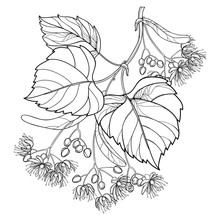 Vector Outline Linden Or Tilia Or Basswood Flower Bunch, Bract, Fruit And Ornate Leaf In Black Isolated On White Background. Linden Branch In Contour Style For Summer Design And Coloring Book.