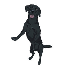 Black Labrador Dog Jumping. Tr...