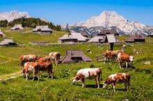 The Cows And Herdsmen's Huts On The Big Pasture Plateau In Slovenia In The Kamnik–Savinja Alps Northeast Of Kamnik, Slovenia.