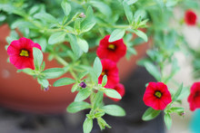 Miniature Or Mini Red Petunias In A Terracotta Pot