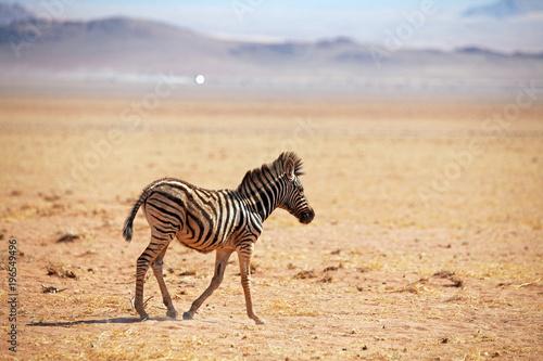 Staande foto Afrika Baby Zebra