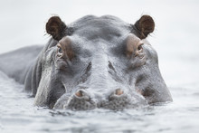 Hippo In The Okavango Delta