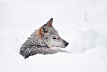 Grey Wolf Resting In Deep Snow...
