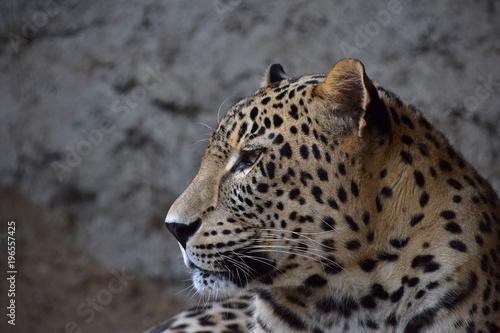 Foto op Canvas Luipaard Close up side portrait of Amur leopard over rocks