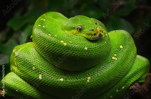 Green tree python profile portrait close up