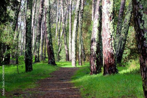 Deurstickers Berkbosje Weg durch einen Wald im norden Spaniens mit grünem Moos an den Bäumen