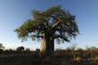 canvas print picture - Baobab in afternoon light