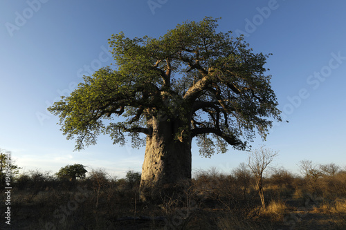 Baobab in afternoon light